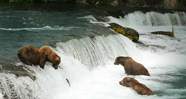Brooks Falls Brown Bears - Katmai National Park, Alaska, USA